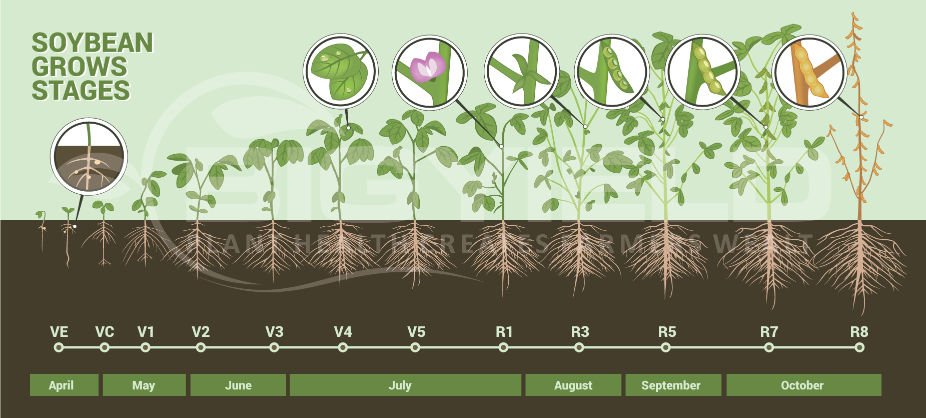 Soybean grows stages mashastudio soybean growth stages nvjuhfo Images